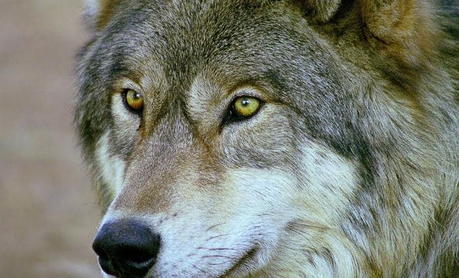Лесник носил волку еду всю зиму: через 4 года волк вернулся и показал свою семью. Лесник на Аляске приметил попавшего в неприятность волка. Мужчина не пожалел еды и кормил животное всю зиму, волк вернулся через 4 года и показал свою семью.