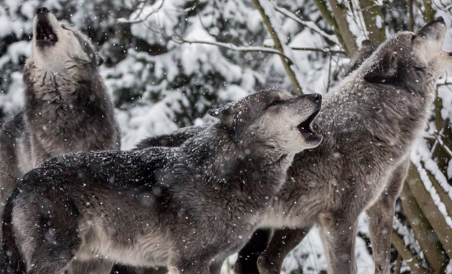 Лесник 3 дня входил в доверие к волку, а потом приблизился и выпустил из ледяного плена