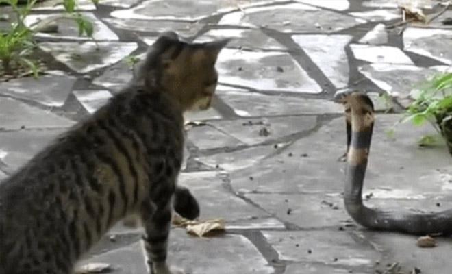 Кошка против кобры