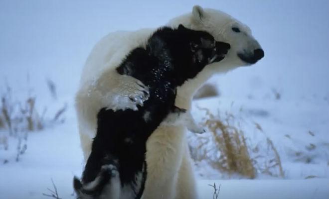 Белый медведь подошел к собаке: хозяину оставалось только смотреть