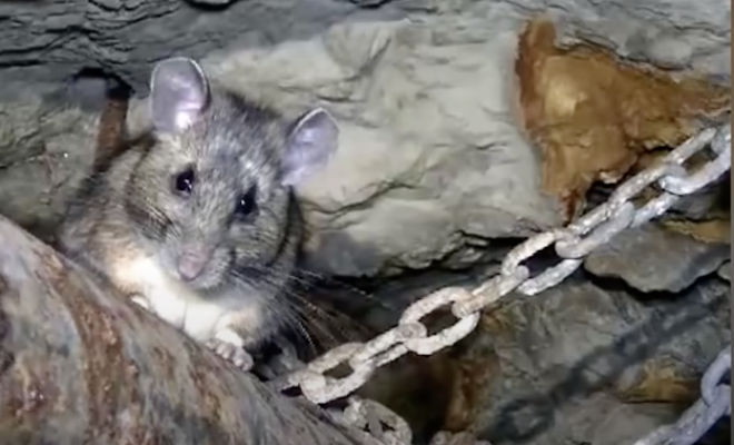 Шахтер каждый раз подкармливал в забое крысу, а в один из дней она пришла и позвала за собой наверх