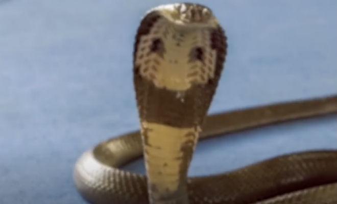 Королевская кобра охраняла щенков
