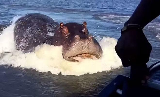 Бегемот посчитал лодку туристов соперником и решил начать преследование. Видео