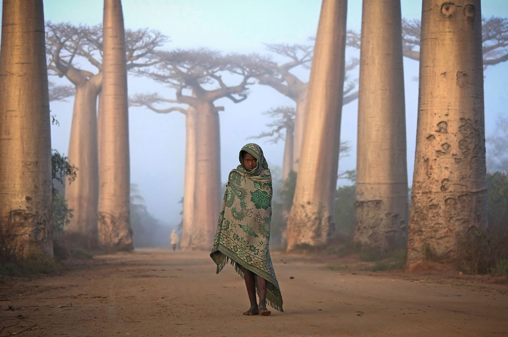 Lost in Time - An Ancient Forest. Avenue du Baobab, Morandava, Madagascar.