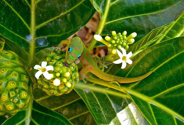 NONI NECTAR FOR GREEN GECKO/Chandra Sherin