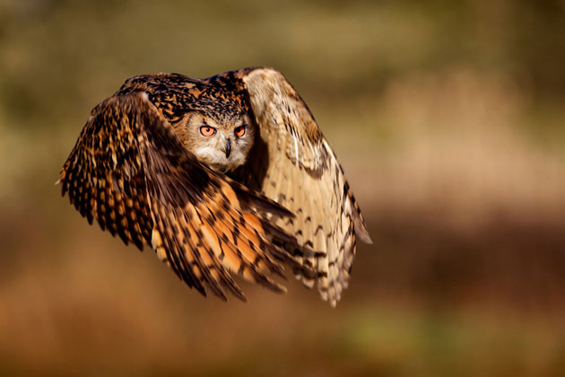 FLIGHT OF AN EAGLE OWL/Mark Bridger