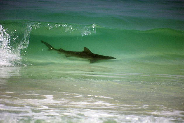 Картинки по запросу фото акул у флориды